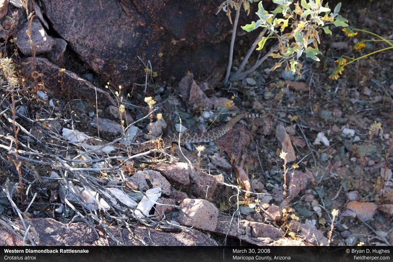 Crotalus atrox Western Diamondback Rattlesnake