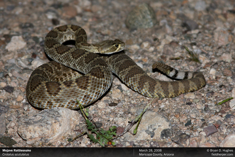 mojave rattlesnake in arizona
