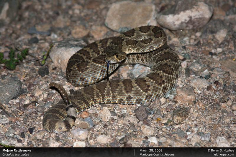 crotalus scutulatus mojave rattlesnake mohave rattlesnake