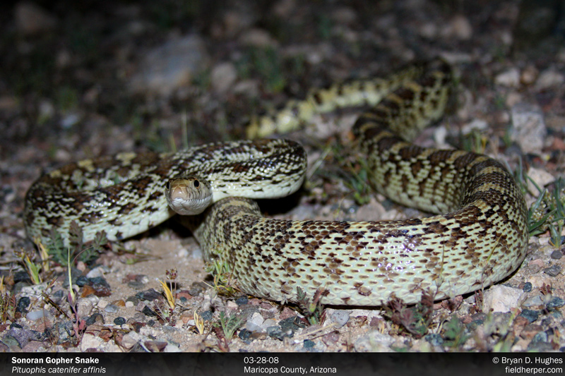 sonoran gopher snake in maricopa county, arizona