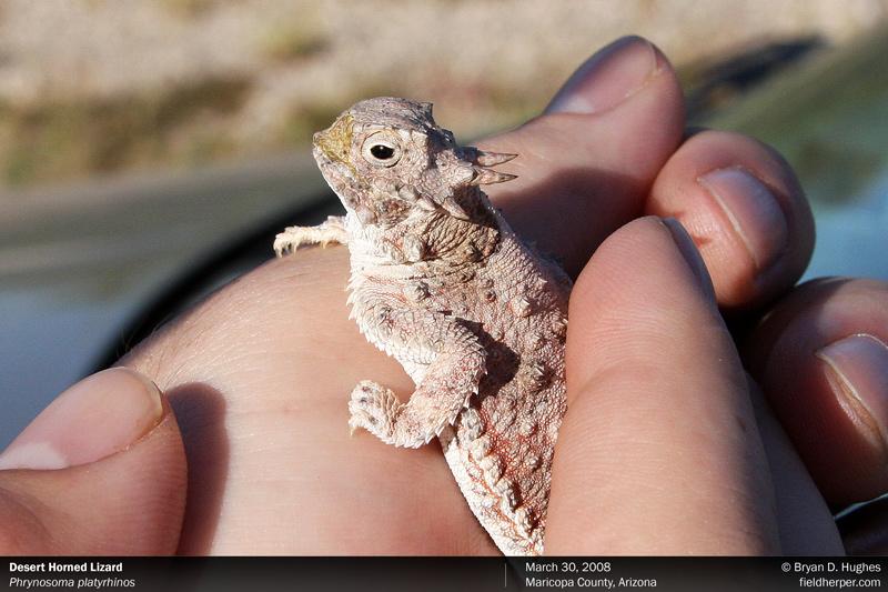 desert horned lizard found while field herping in arizona