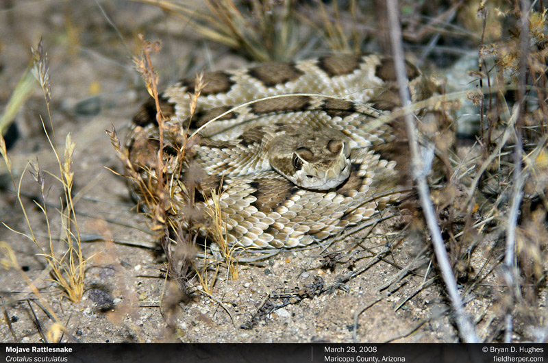 Baby Mojave Rattlesnake