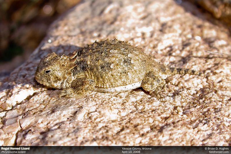 Regal Horned Lizard - Phrynosoma solare