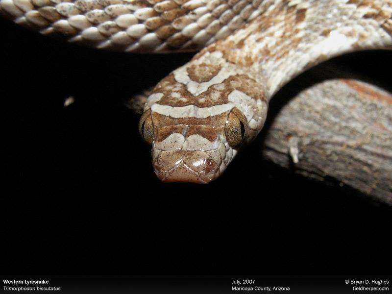 Trimorphodon biscutatus Western Lyresnake