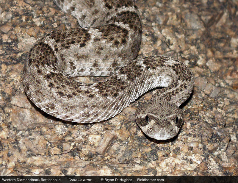 Rattlesnakes in Arizona