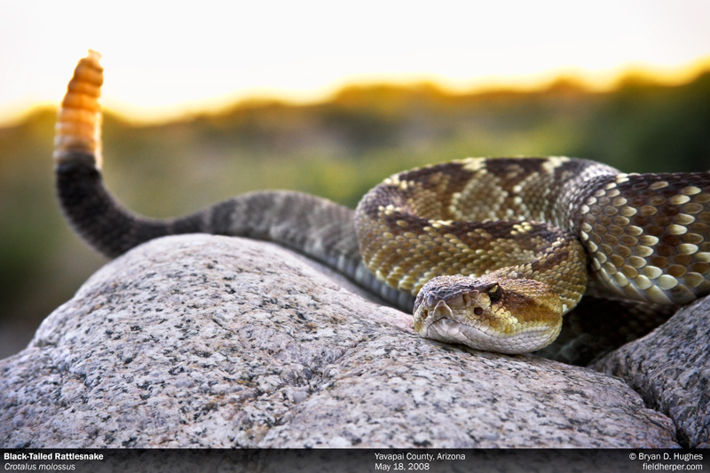 Black-Tailed Rattlesnake in Arizona