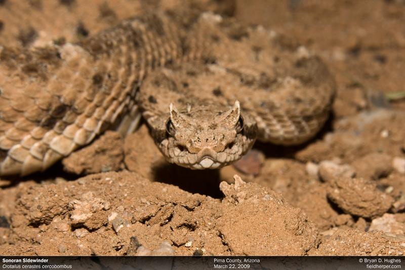 One of 2 Sidewinder subspecies found within Arizona