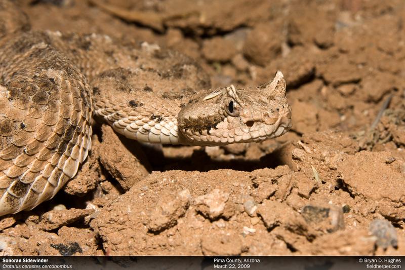 Crotalus cerastes cercobombus in Arizona