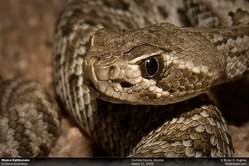 A tiny baby Mojave Rattlesnake