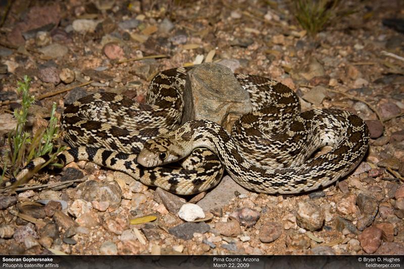 A Sonoran Gophersnake found West of Tucson, Arizona
