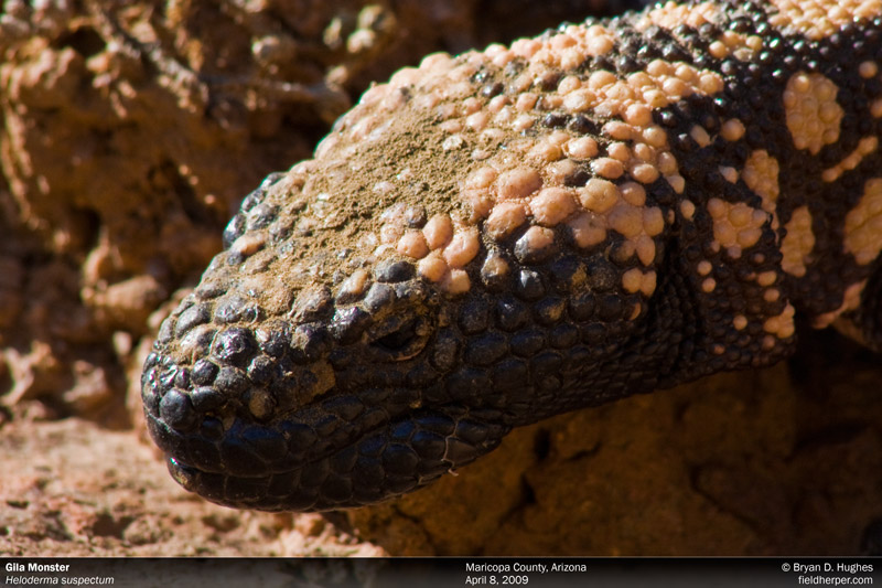 Gila Monster in Arizona