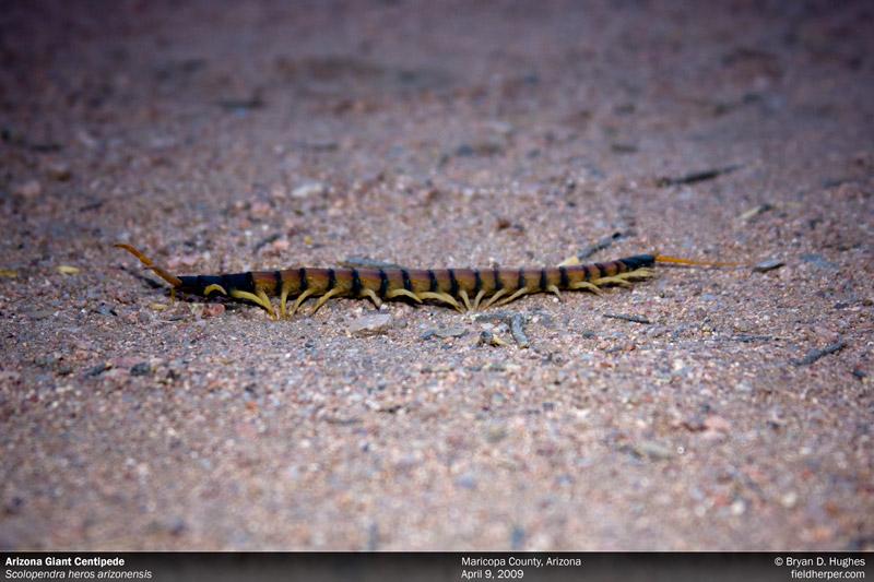 Arizona Desert Centipede