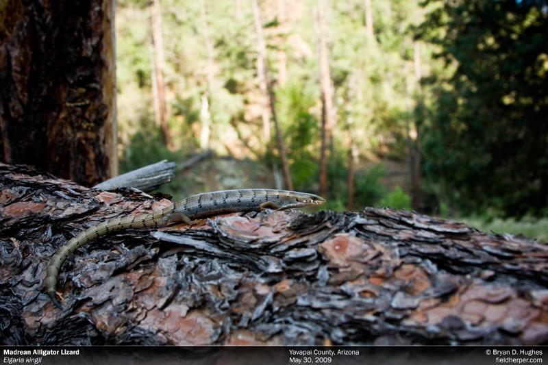 Madrean Alligator Lizard