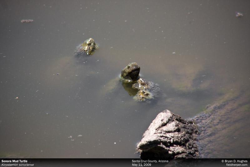 Sonoran Mud Turtles