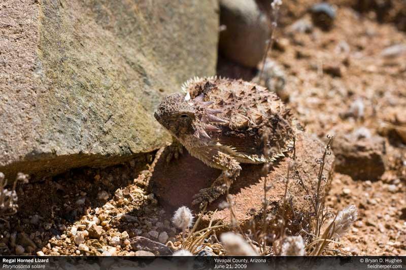Regal Horned Lizard