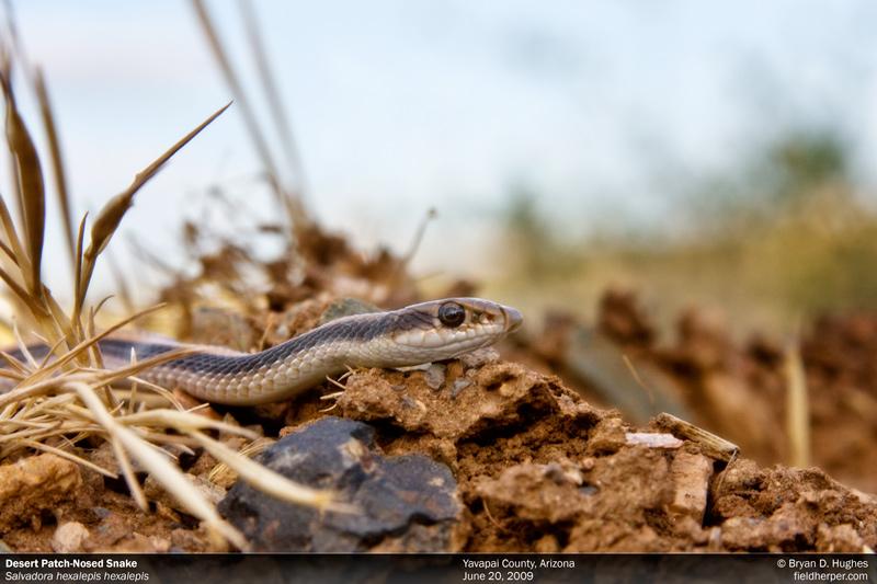 Desert Patch-Nosed Snake
