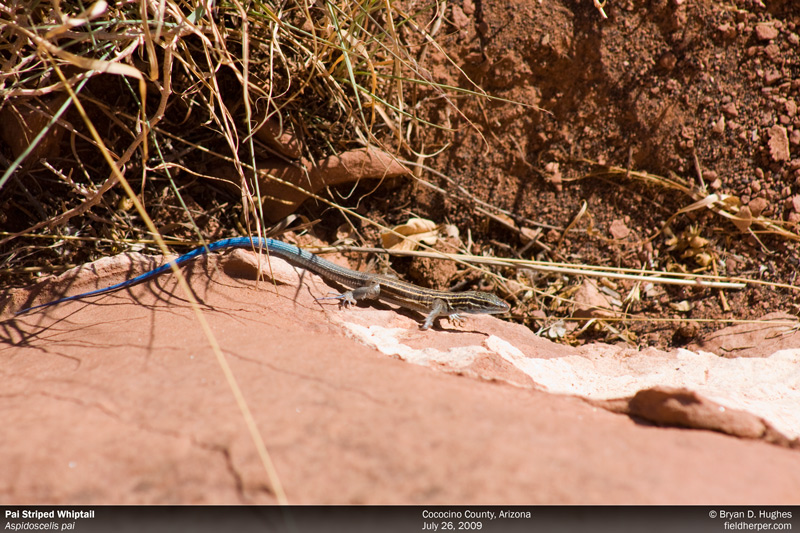Pai Striped Whiptail