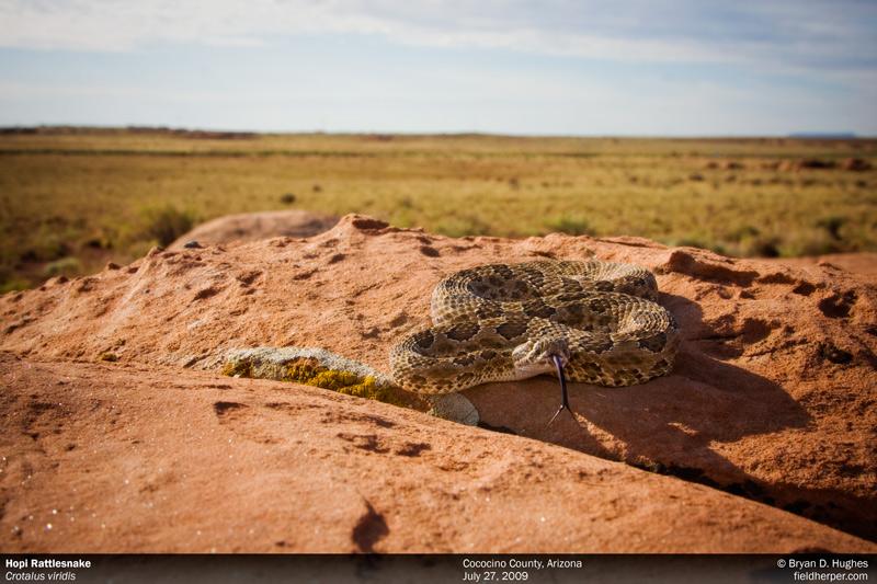 Hopi Rattlesnake