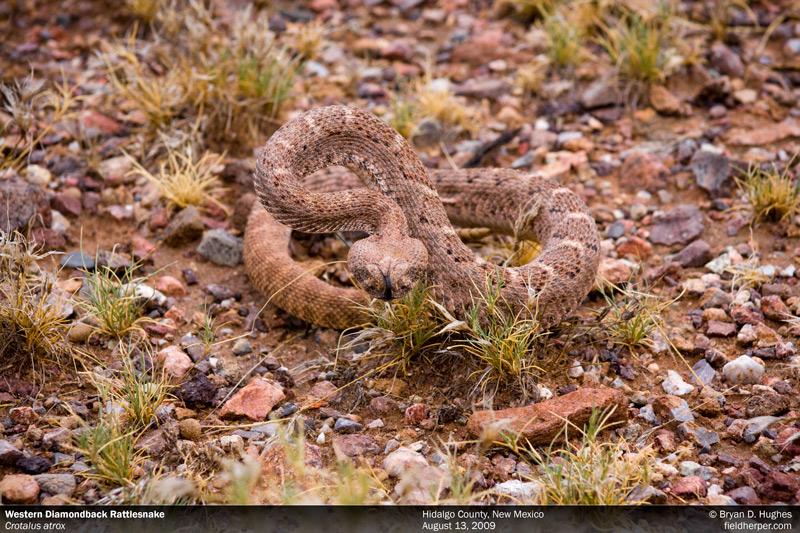 Red-Phase Western Diamondback Rattlesnake