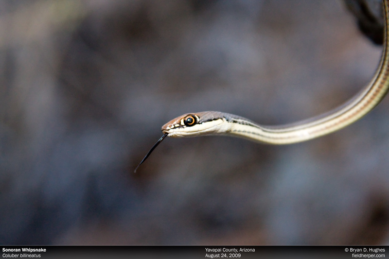 Sonoran Whipsnake, Coluber bilineatus