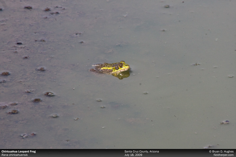 Chiricuahua Leopard Frog