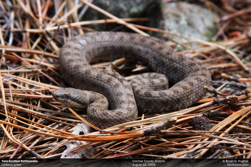 Twin Spotted Rattle Snake