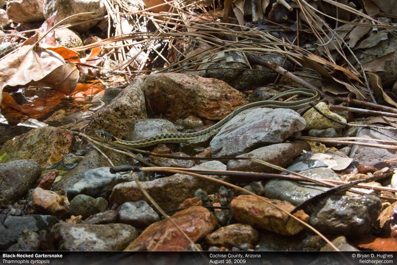 Garter Snake in Arizona