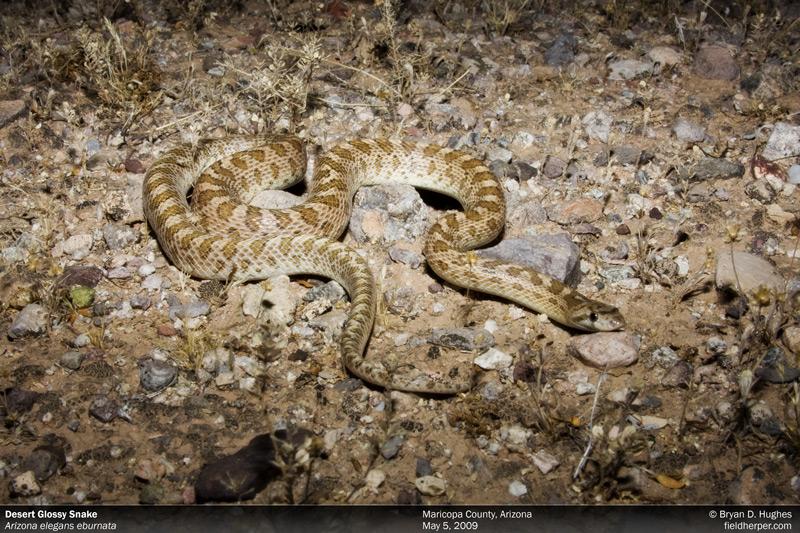 Desert Glossy Snake in Arizona
