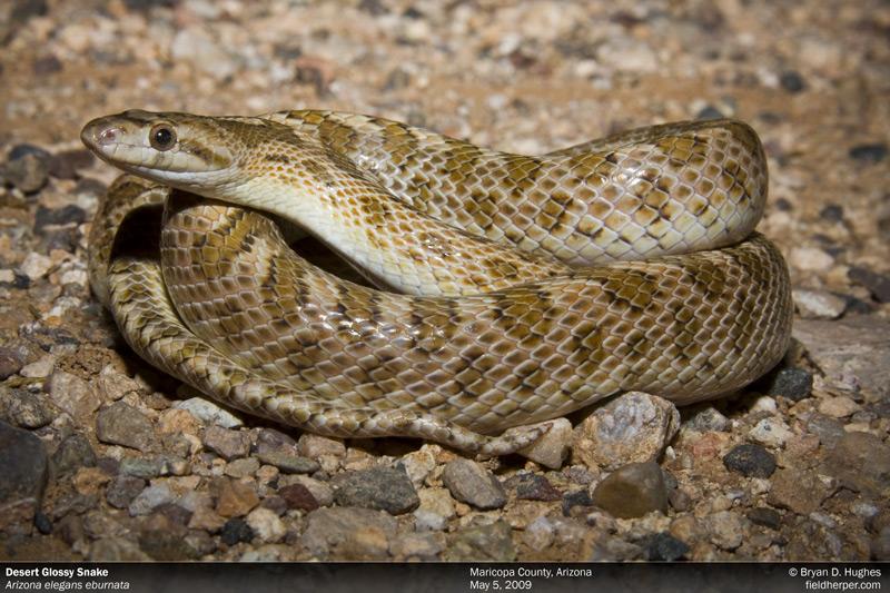 A Snake in Arizona