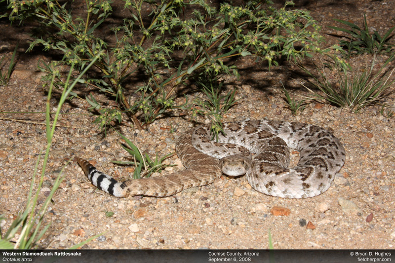 Rattlesnake in Arizona