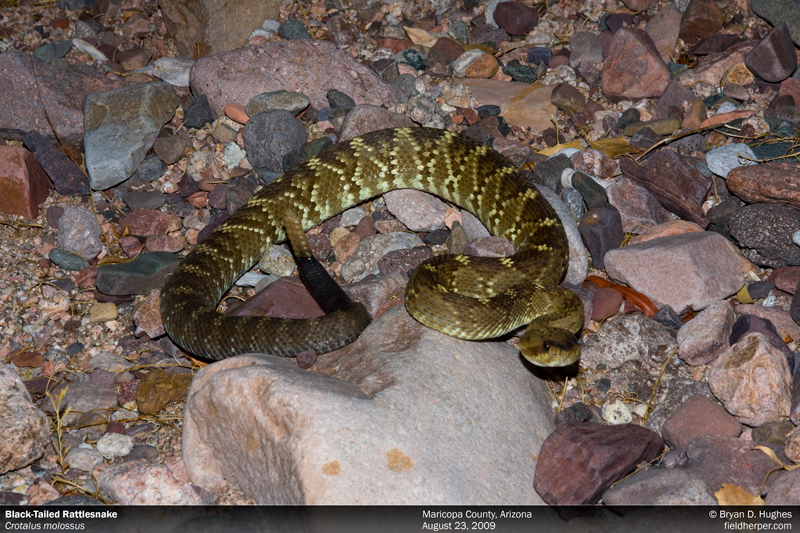 black tail rattlesnake