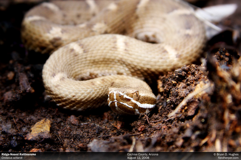 Crotalus willardi