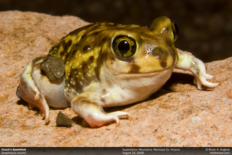 Couch's Toad