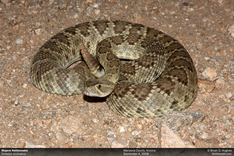 rattlesnake in az
