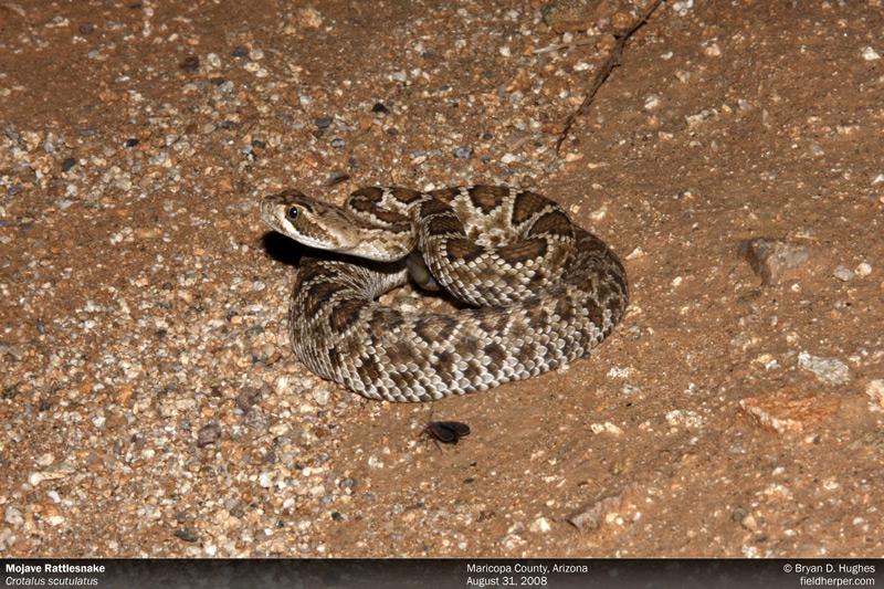 rattlesnakes in az