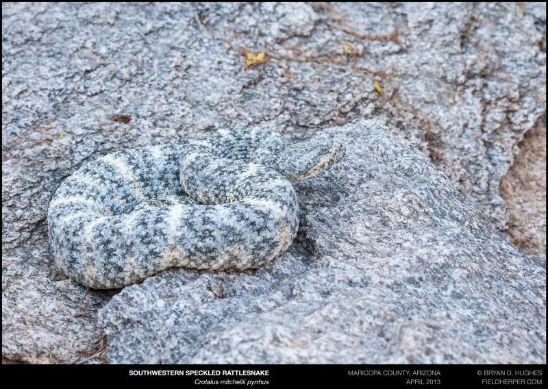 crotalus-mitchellii-pyrrhus-042613-4