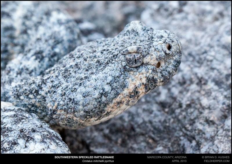 crotalus-mitchellii-pyrrhus-042613-5