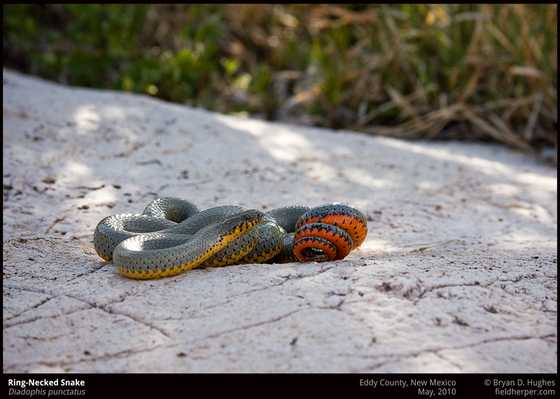 Regal Ringnecked Snake