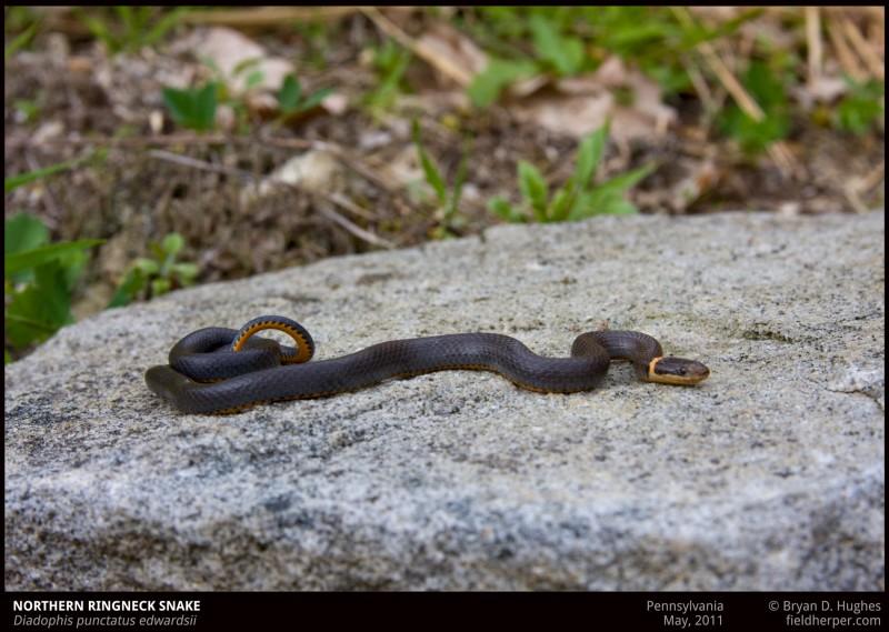 Ringnecked Snake