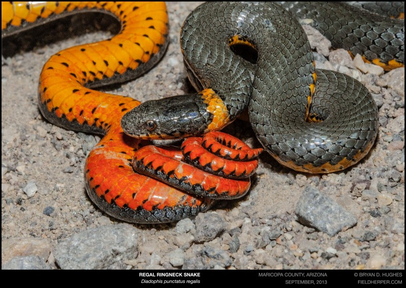 ringnecked snake in arizona