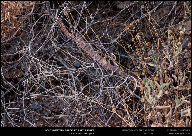 Crotalus-mitchellii-pyrrhus-052313-2