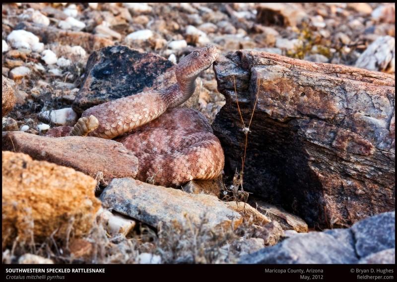 crotalus-mitchelli-pyrrhus-1-052012