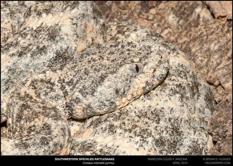 crotalus-mitchellii-pyrrhus-042613-2