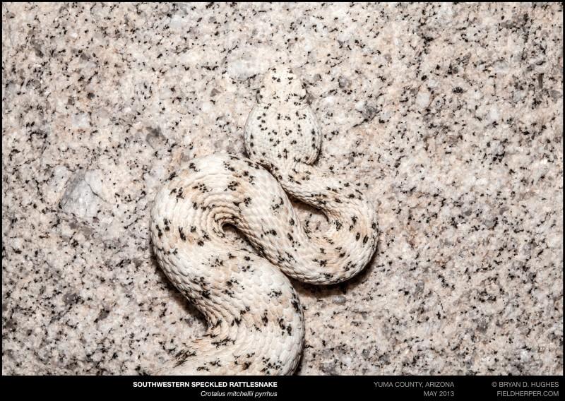 crotalus-mitchellii-pyrrhus-051813-1