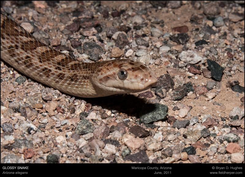 Arizona-elegans