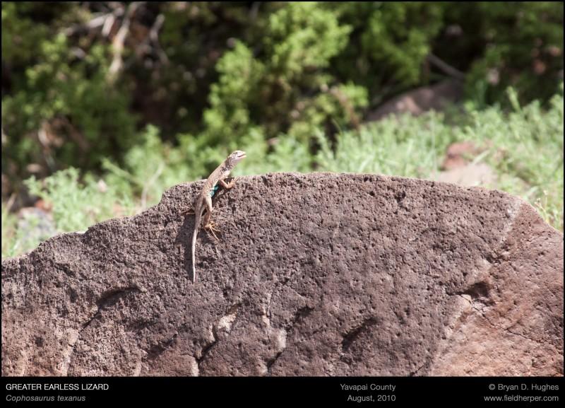 Cophosaurus-texanus-081510
