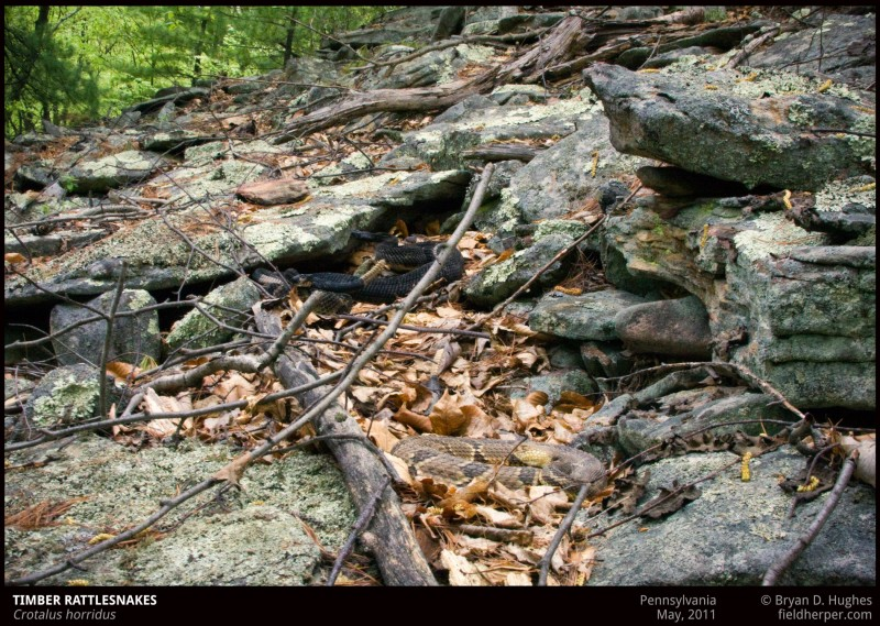 timber rattlesnake den