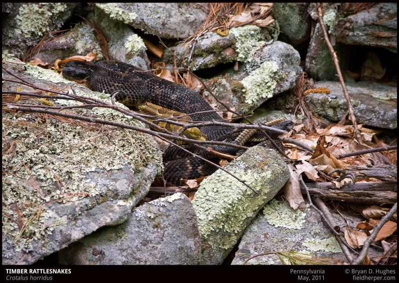 Crotalus-horridus