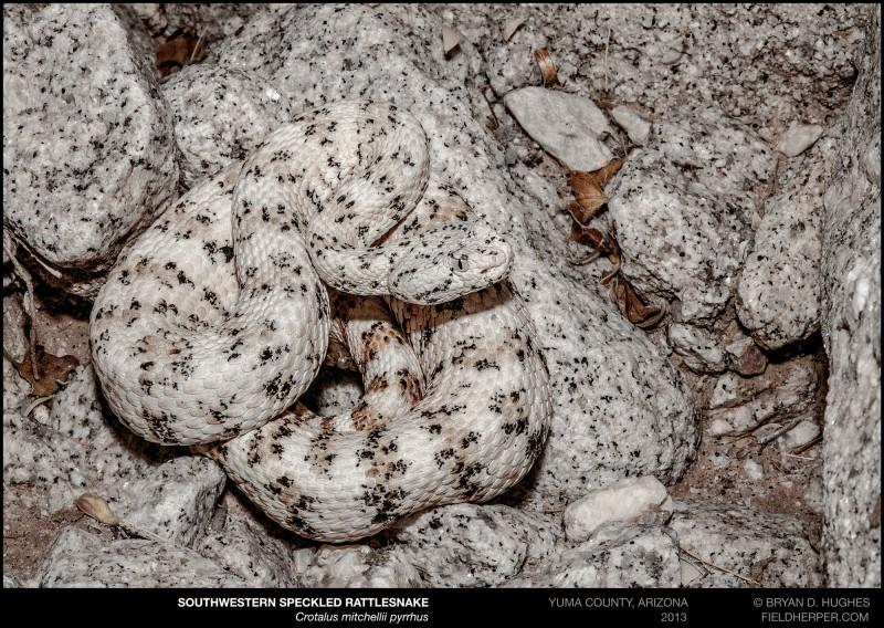 Crotalus mitchellii pyrrhus