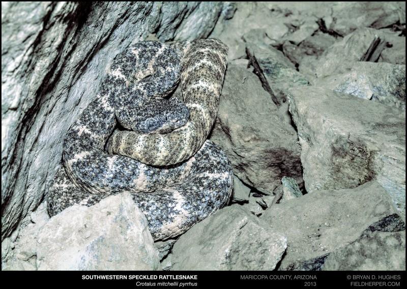 Crotalus-mitchellii-pyrrhus